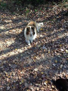 Mini Collie, Dogs, Animals, Animales, Animaux, Pet Dogs, Doggies, Animal, Animais