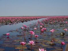 """One of our community members, Charles, took this photo of the """"Red Lotus Sea"""" in Isan, Thailand"""