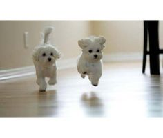 Precious Teacup Maltese Puppies Available for sale is a Maltese Puppy in Gainesville GA