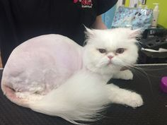 Kitty groom (after)
