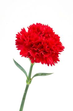 "Carnation - Karanfil (dianthus caryophyllus) ....red means ""My heart breaks"""