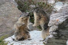 Vanoise : marmottes