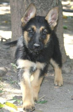 German Sheperd! Puppy love <3