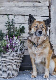 Urlaub mit Hund in der Ferienregion Schladming-Dachstein // Holidays with the dog in the holiday region Schladming-Dachstein Private Sauna, Husky, Fox, Holidays, Animals, Modern Farmhouse, Cottage House, Animaux, Holiday
