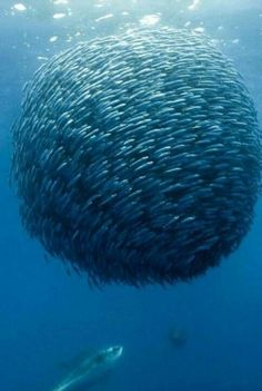 Defense mechanism of fish avoiding a predator or predators.  A literal ball of fish.