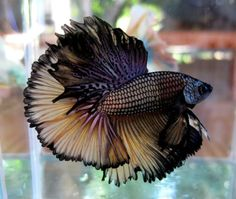 Siamese fighting fish - Katie, I know you'll love this!