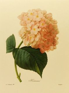 Redoute Flower Print, Hydrangea, French Country Home Decor, Botanical Illustration, Flower Book Plate No. 56