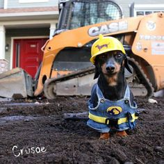 "Crusoe the celebrity dachshund | ""Dad's building me my yard… and I'm in charge of..."
