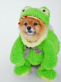 Check out this Pomeranian in a frog costume!