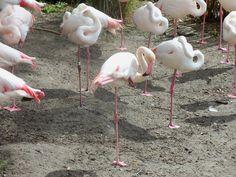 Animal Kingdom Lodge Flamingos