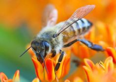 12 Natural Bee Sting Remedies. Click here to read more http://www.vegetablegardener.com/item/5452/12-natural-bee-sting-remedies