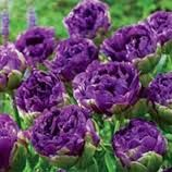 Blue Wow Tulip