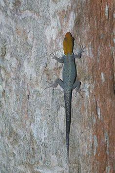 Golden Head Gecko