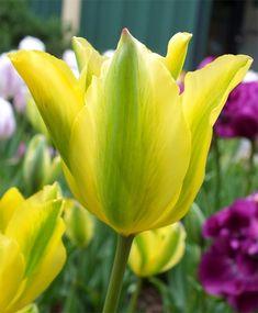 Tulip Formosa - Green Tulips - Tulips - Flower Bulb Index
