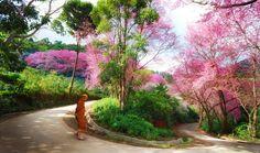 Sakura , Chiang Mai, Thailand