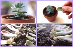 How To Propagate Succulents Yourself Tutorial