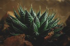 Spiky succulent by René Jordaan Photography on @creativemarket #leaf#tropical#greenery#green#spring#inspiration#color#fresh