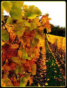 Cristom Vineyards near Salem, Oregon--Many gorgeous vineyards in Salem.  Lin b.