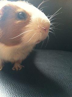 Guinea pig!!!