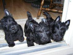 Locksley Scottish Terriers 12-18 Puppies 8 Weeks