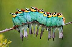 Caterpillar of Birds