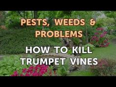 How to Kill Trumpet Vines - YouTube