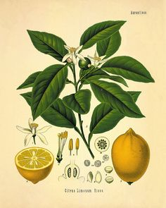 Lemon Botanical Art Print, Vintage Botanical Home Decor, Lemon Poster, Kitchen Poster, Kitchen Illustration Giclee Print Vintage Botanical Prints, Botanical Drawings, Botanical Art, Antique Prints, Vintage Prints, Botanical Posters, Vintage Clipart, Posters Vintage, Vintage Art
