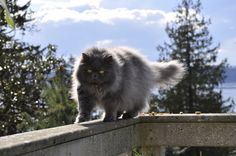 Fluff Ball Cat by Justin Donnelson, via 500px
