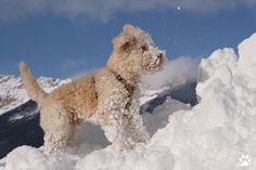 Stiffy windy cold up here, but would not wanna be anywhere else. Lagotto Romagnolo, Dog Mom Gifts, House Rabbit, Dog Hacks, Nature Pictures, Dog Owners, Dog Cat, Kitten, Snow