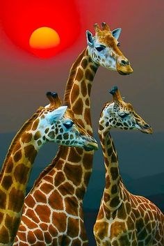Giraffes  i love this pic.