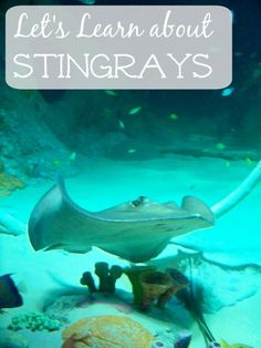 Awesome facts about stingrays -- great for a unit study on the ocean or to read before a trip to the aquarium. Kids Learning Activities, Ocean Activities, Preschool Themes, Fun Learning, Teaching Resources, Stingray Fish, Shark Facts, Ocean Unit, Animal Crafts For Kids