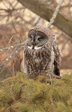 Great+gray+owl