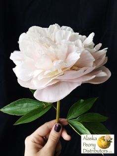 This peony is called Mother's Choice and it has just a kiss of blush to its color.