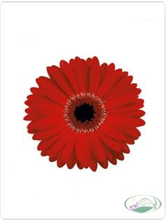 Red Gerbera Daisy blooms will make a statement at your wedding or special event. Included in this package are 240 Gerbera Daisy Heads and to make them easy to u Collages, Wedding Bouquets, Wedding Flowers, Gerbera Wedding, Wedding Dresses, Pink Gerbera, Gerbera Daisy Care, Bloom, Gerber Daisies