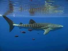 whale shark pictures | Whale shark in Red Sea