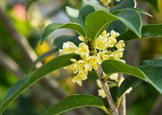Full Size Picture Of Sweet Olive Fragrant Tea Olive Osmanthus Fragrans Zone 7 10b Can Get Up