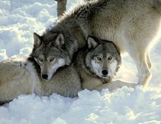 A beautiful pair of wolves.