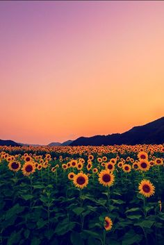 #sunset #sunflowers #mountains #green #yellow