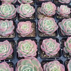 #succulent #cactus #plant #Echeveria #sedum #agavoides #nursery #green #succulents #nature #flower #cacti #lithops #ebony #aeonium #haworthia #plants #多肉植物 #多肉 #garden #サボテン #仙人掌 #園芸 #pot