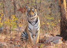 #News  Soon, Tadoba & Pench Are Likely To Be On Deccan Odyessy Route!!  Till Now, Deccan Odyssey Route Was Covering Shirdi, Ganpatipule & Beaches But Soon Tadoba & Pench Are Also Going To Be Covered, So In Short It's Going To Be A Complete Tour With Some Thrill!!!  #Travel #Tourism #SaveTiger