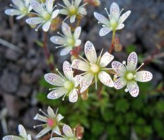 Saxifraga, commonly called Saxifrage or Rockfoil, is a large genus of about 400 species of perennials in the family Saxifragaceae, native to temperate, Types Of Soil, Types Of Plants, Bright Flowers, Wild Flowers, My Love Poems, Alpine Plants, Crepe Paper Flowers, Companion Planting, Perennials