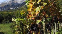 Pinot noir dans les Grisons