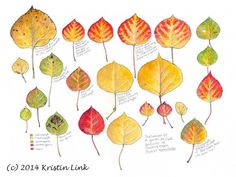 """A Guide to Fall Leaf Color of Quaking Aspen, 11 x 14"""" watercolor and pen"""