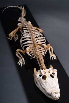 Nile Crocodile Skeleton - 7' (2.13 m) - On display at the Veterinary Anatomy Museum - Bristol, U.K.