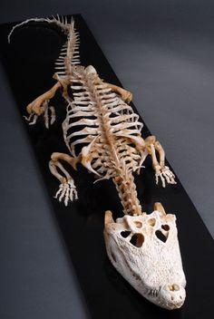 Nile Crocodile Skeleton - 7' (2.13 m) - On display at the Veterinary Anatomy Museum - Bristol, U.K.