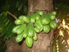 Biribiri fruta típica do Nordeste do Brasil de sabor citrico mais que limão. Usado na culinária, no preparo de pratos com peixes e conserva.