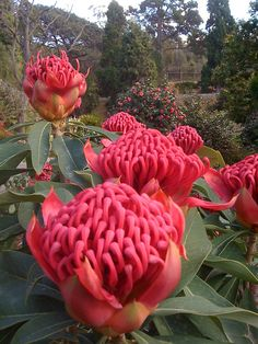 Waratah (Australian relative of the Rhododendron/Azalea), Royal Tasmanian Botanical Gardens, Tasmania, Australia. Unusual Flowers, Unusual Plants, Rare Flowers, Exotic Plants, Amazing Flowers, Australian Wildflowers, Australian Native Flowers, Australian Plants, Tropical Flowers