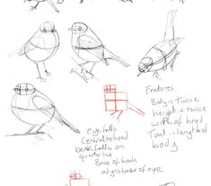 How to draw a robin bird proportions and shape