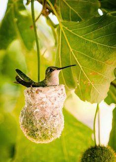 巣の中ハチドリ