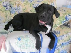 Levi is a 15 mnth old black lab mix who is looking for a new home.Levi is a laid back guy.  He loves people, belly rubs, chillin' on the ground chewing on his nylabone, laying out in the grass, basically he is a typical lab who wants to be where you...